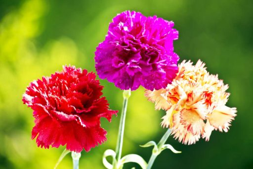 claveles de colores