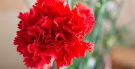 flor clavel