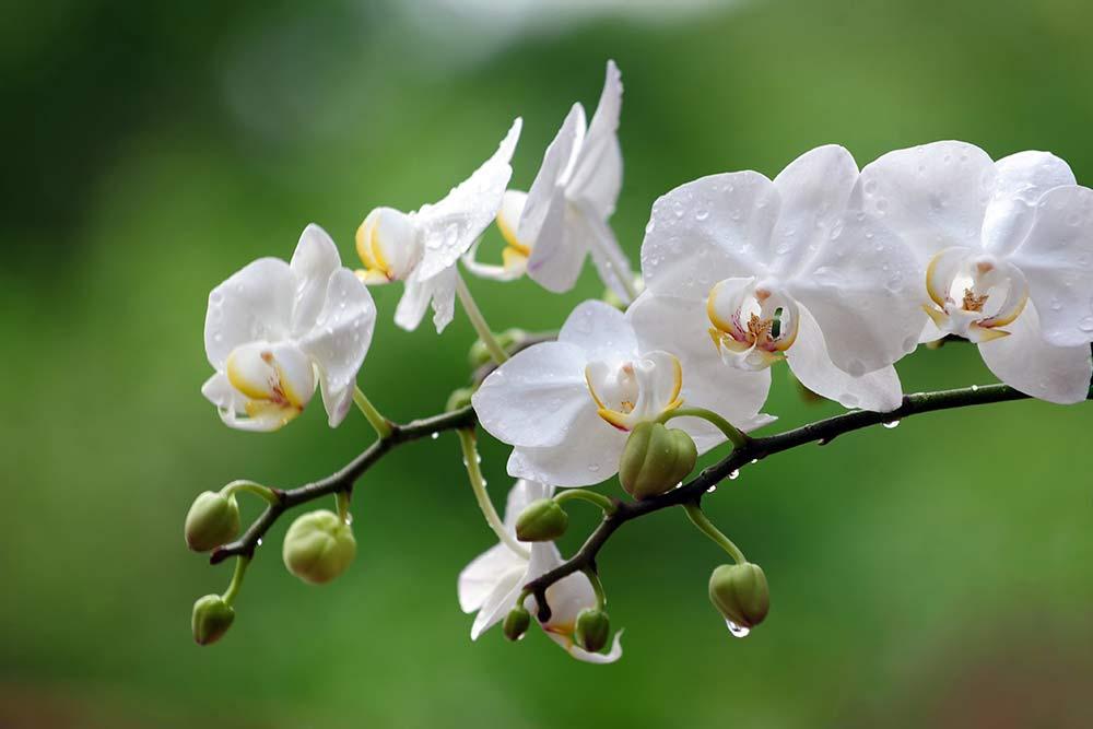 Orquidea Todo Sobre Estas Flores Tipos Cultivos Y Cuidados De Planta - Orquideas-blancas-cuidados