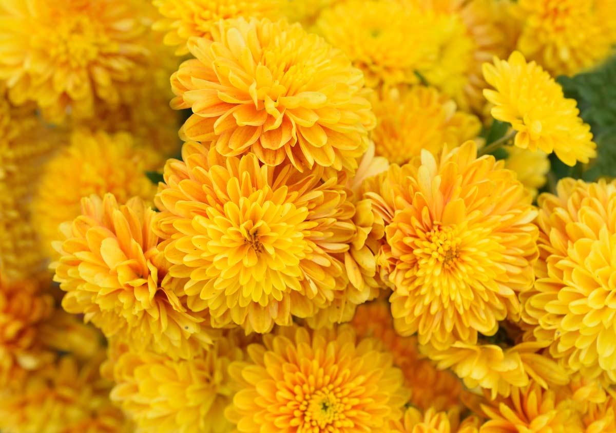 Crisantemo Todo Sobre Esta Flor Variedades Cuidados
