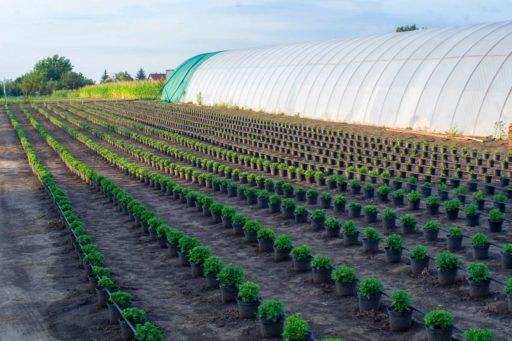 crisantemo cultivo