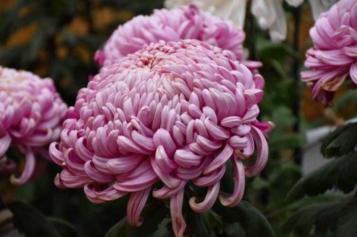 crisantemo japones