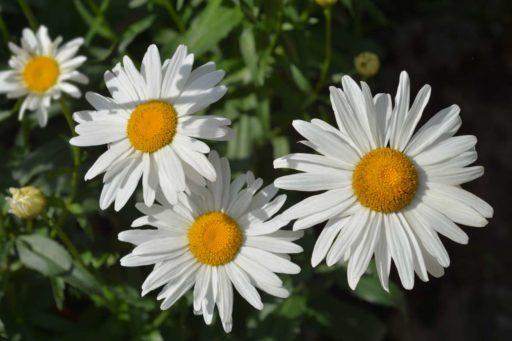 crisantemo max