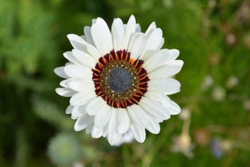 crisantemo tricolor