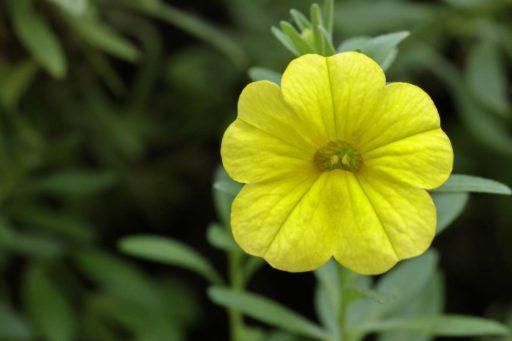 petunia amarilla