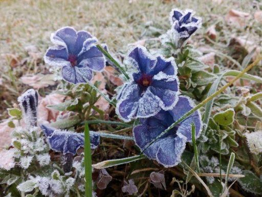 petunias en invierno
