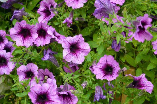 petunias multifloras