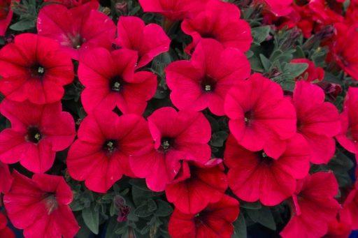 petunias rojas