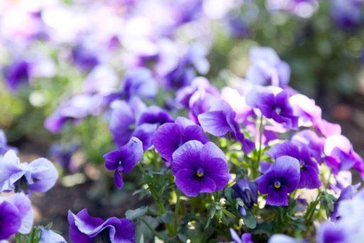 jardin de violetas