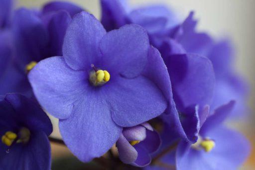 violetas significados